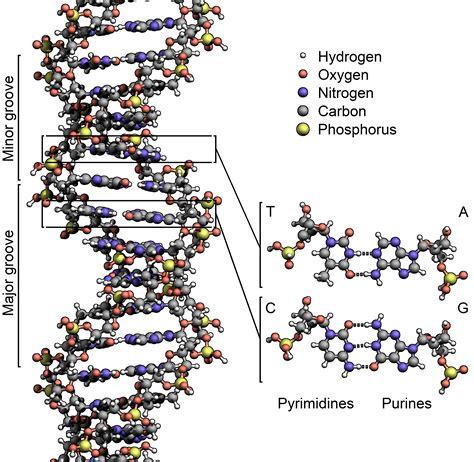 dna molecule diagram file dna structure key labelled pn nobb png