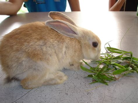 how to your pet how to feed your pet rabbit easily petklips