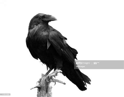 raven  black white isolated stock photo getty images