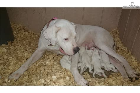 dogo argentino puppies for sale 2016 1 dogo argentino puppy for sale near lakeland florida a3741351 4421