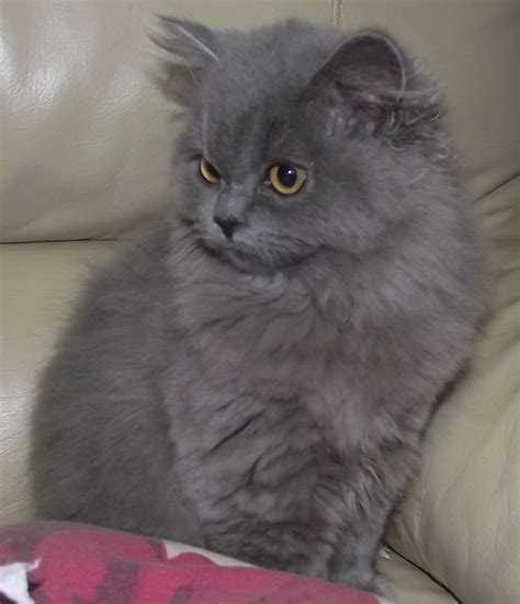 blue and lilac british longhair kittens   Wisbech