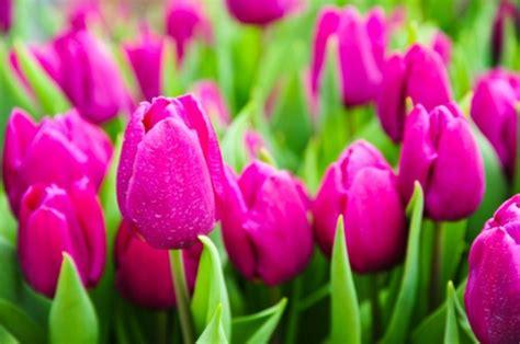 il fiore tulipano tulipani la leggenda di un pegno d eticamente net