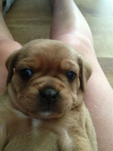 puggle puppies for adoption s puppies articles puppies for sale 2013 07 26 dogs puppies for breeds picture