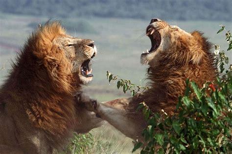 imagenes leones peleando leones peleando hasta la muerte animales en video