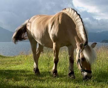 fjord tough 1000 images about fjord horses on pinterest fjord horse