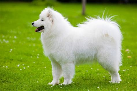 samoyed colors samoyed dogs puppies care information breeds