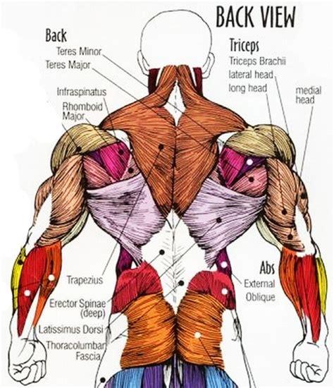 diagram back muscles back anatomy diagram human anatomy diagram