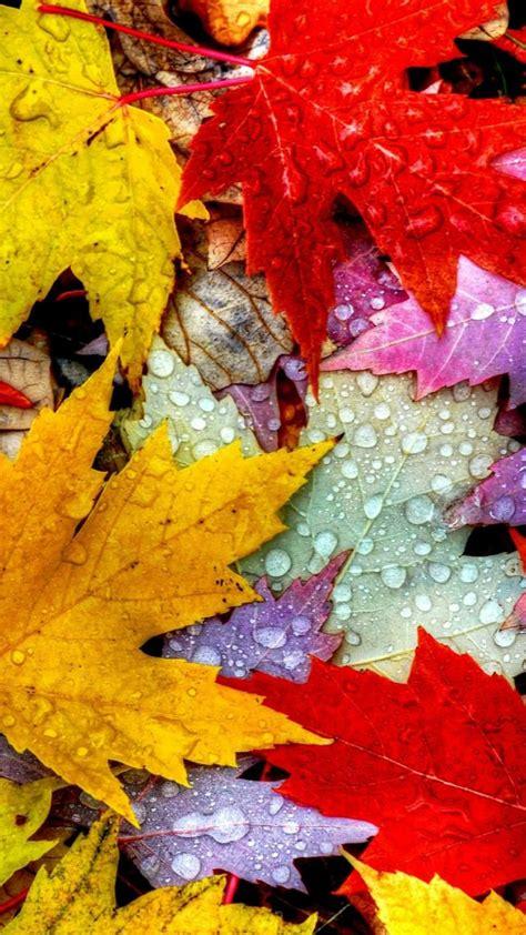 wallpaper leaves   wallpaper drops rain autumn nature