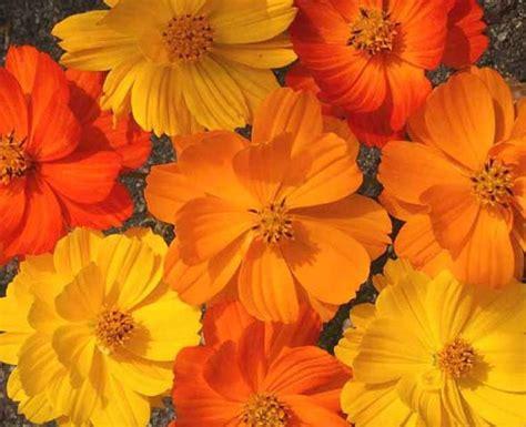 Benih Bunga Cosmos Bright Lights Mix Orange And Yellow Flower 1 sulphur cosmos bright lights seeds