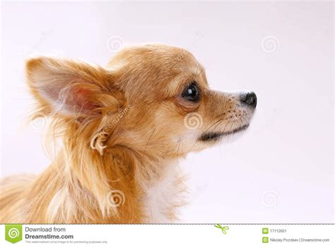 puppy primer pista de perro de la chihuahua en primer perfil imagen