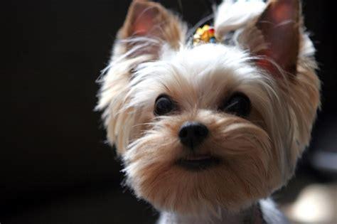 yorkie puppy cut yorkie puppy cut haircut