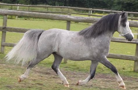 welsh section a for sale welsh section a gelding aylesbury buckinghamshire