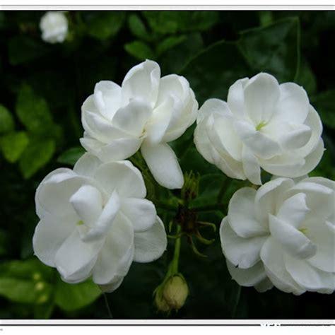 wallpaper bunga melati gambar bunga melati putih tercantik wallpaper202