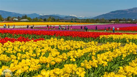 tulip fields tulip fields at skagit valley largest floral festival in wa