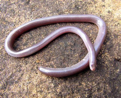 japaras backyard blind snake