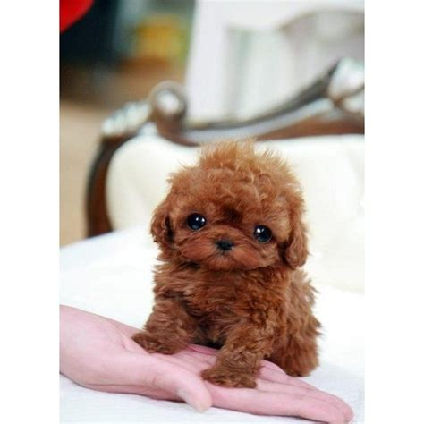 micro teacup poodle lifespan 16 best boutique teacup puppies images on tiny