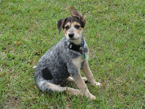 heeler breed all list of different dogs breeds blue heeler puppy pictures