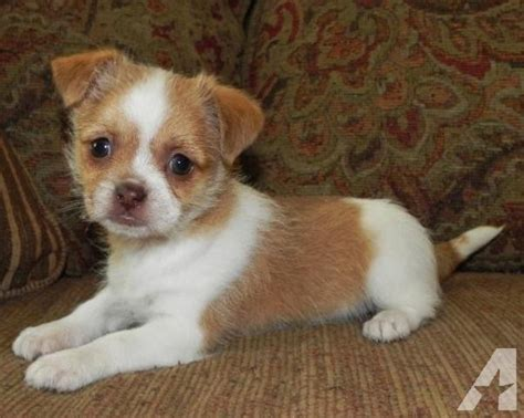 chihuahua shih tzu mix for sale shih huahua shih tzu chihuahua mix wormed guaran for sale in cape fear