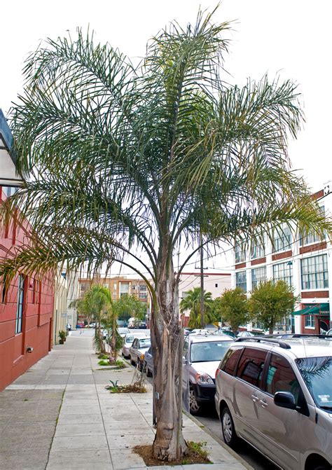 Big Backyard Landscaping Ideas Queen Palm Friends Of The Urban Forest
