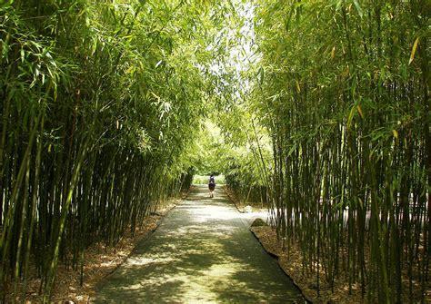 bambus winter hoher winterharter bambus hohe bambusarten f 252 r die