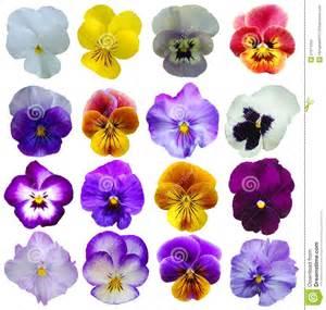 flores y mensajes navideos 16 flores de los pensamientos imagenes de archivo imagen