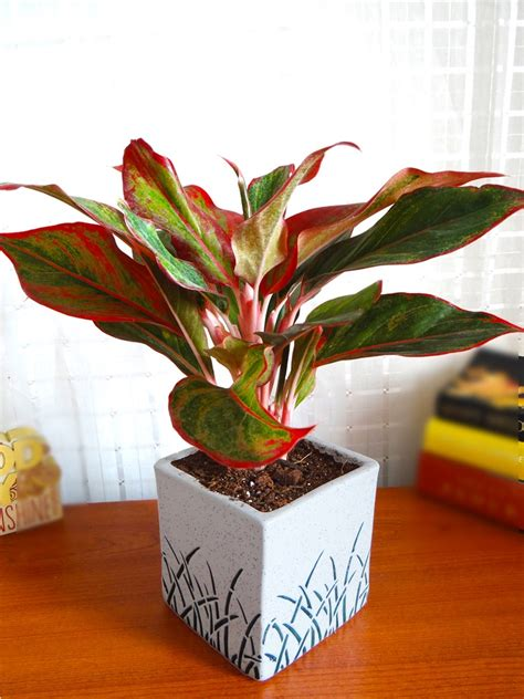 red aglaonema siam aurora chinese evergreen plant  white