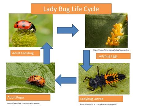 ppt the life cycle of ladybugs powerpoint presentation insect lifecycle presentation lesson plan k5 computer lab