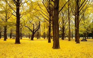 fall ginkgo trees autumn japan wallpapers hd wallpapers