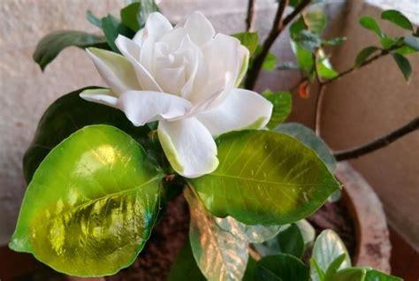 gardenia problems plants plant care gardenia care
