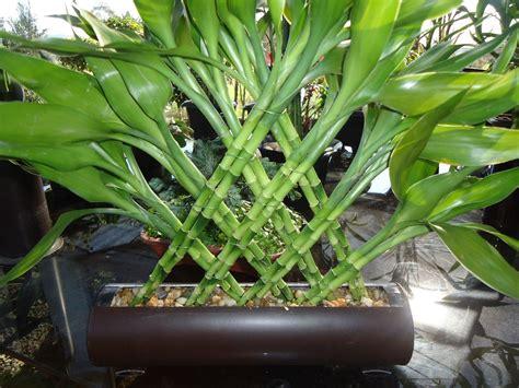 como da bambu da sorte arranjo sem vaso r 60 00 em mercado livre