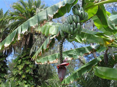 when do banana trees fruit banana fruit tree banana tree