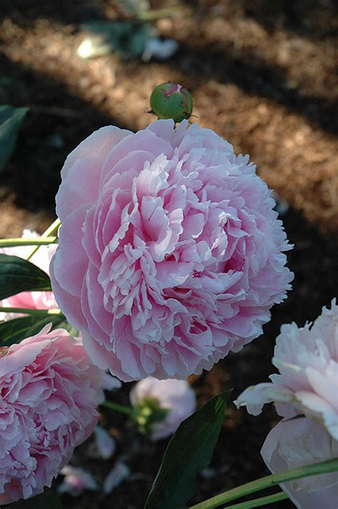 shirley temple peony paeonia shirley temple