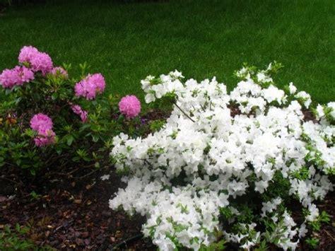 low flowering shrubs flowering shrubs pictures