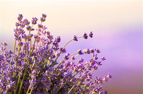 fototapete lavendel fototapete lavendel blumen bl 252 hen sommer lavendel