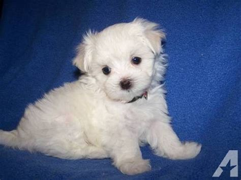 puppies in kentucky maltipoo puppies for sale in nicholasville kentucky classified americanlisted