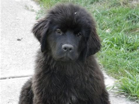 newfoundland puppy for sale felicia newfoundland puppy for sale puppy