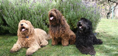 labradoodle puppies for sale california labradoodles for sale in california brasken labradoodles
