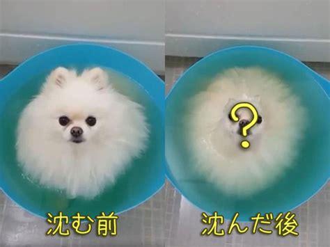 how to bathe a pomeranian at home ポメラニアンがお風呂で上を向くと こんな形になる 動画 エキサイトニュース