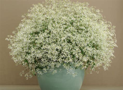 sprout home plant of the week euphorbia breathless white