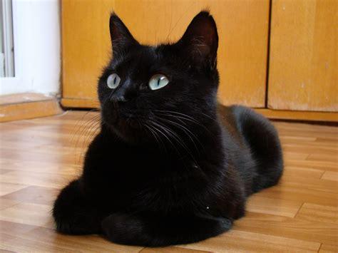 wallpaper dark cat black cats hd wallpapers