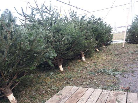 Christbaum Richtig Lagern by Auswahl Und Pflege Eines Weihnachtsbaumes Gartenzeitung