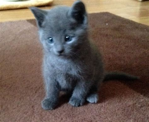 Blue Cat For pedigree russian blue kitten for sale ardrossan