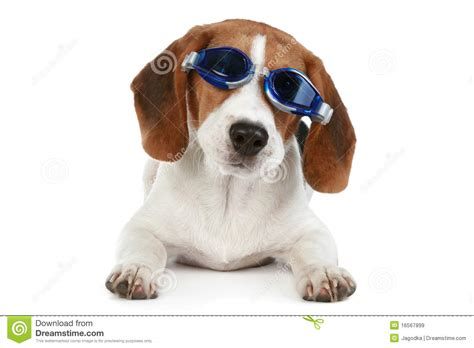 puppy in puppy in blue glasses stock image image 16567899