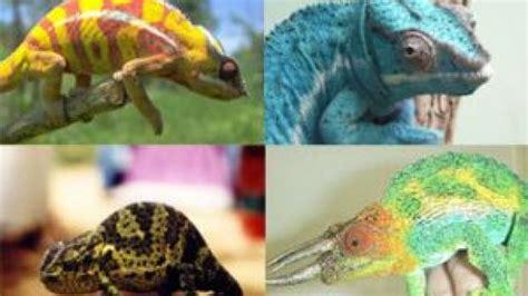 do all chameleons change color why do chameleons change color softpedia