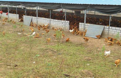 keeping free range chickens in your backyard yarding wikipedia