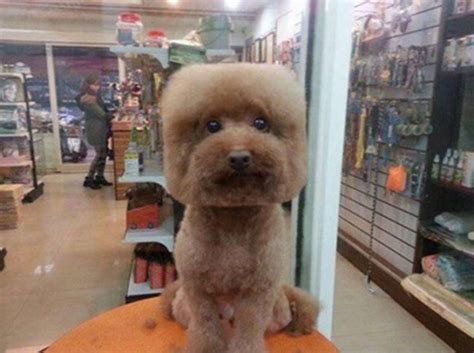 round face cut for dogs dogs are getting their hair cut to have square round heads