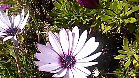 imagenes de flores extrañas plantas margaritas como cuidar las flores a las que