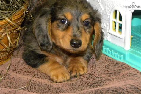 miniature dachshund puppies jacksonville fl mississippi miniature dachshund puppies breeds picture