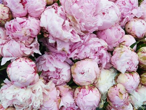 the pink peonies peonies the chic n roll