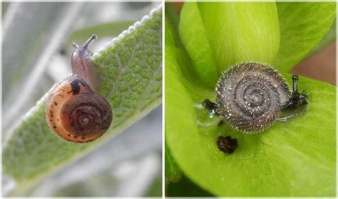 Kleine Weisse Schnecken Im Garten by Zwei Haarige Kleine Schnecken In Unserem Garten Flechten Pilze Pflanzen Tiere In Nordrhein